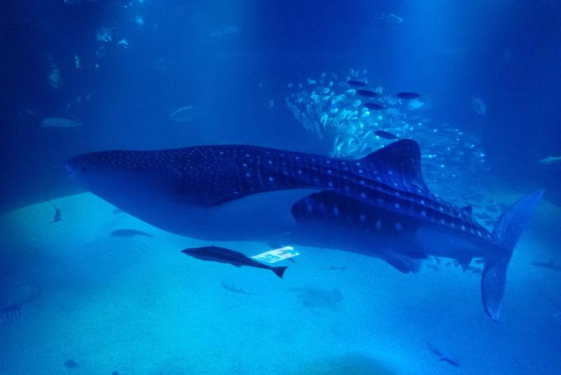 夜の海遊館 ジンベイザメ