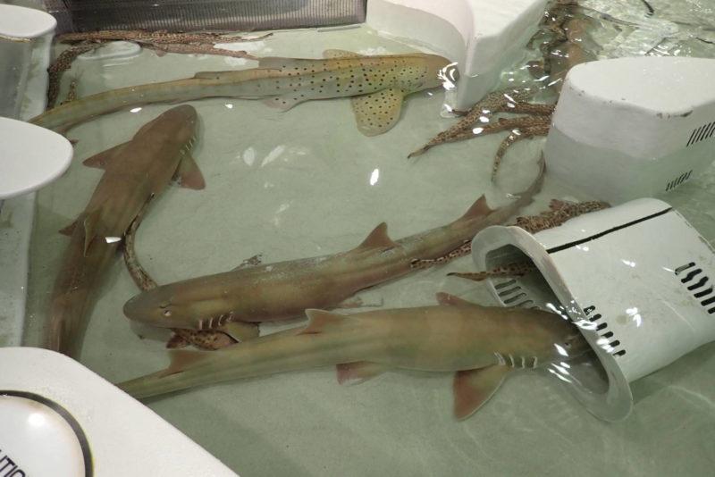 夜の海遊館 サメ・エイ ふれあい体験
