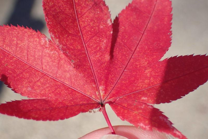 紅葉(オリンパス Tough TG-6で撮影)